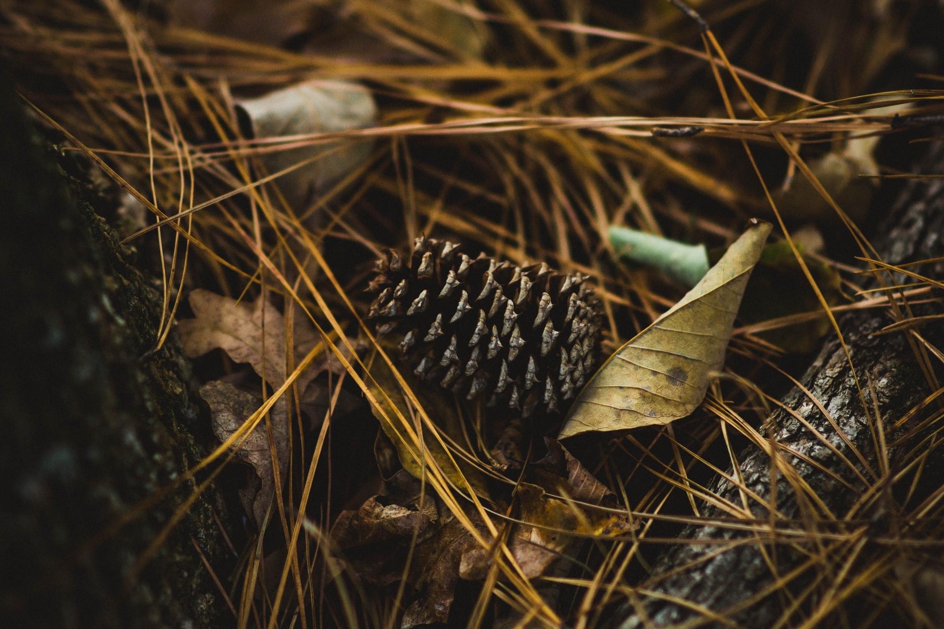 焚火の火種となる松ぼっくりや枯れ葉